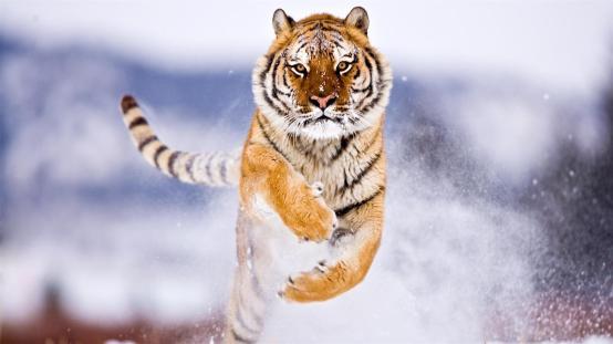 4k-image-tiger-jumping.jpg