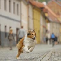 Lassie regresa a casa 70 años después en el corazón de Europa